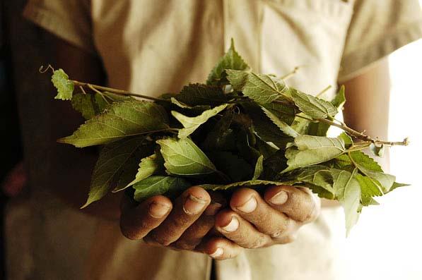 Les Žtapes de la soie, chez M Morimoto (gagnant du prix rolex de l'entreprise) ˆ Siem Reap,Cambodge, dŽcembre 2004